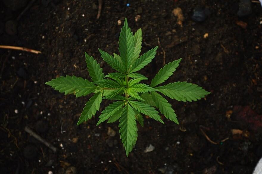 marijuana_pot_cannabis_pretty_symmetrical.jpg