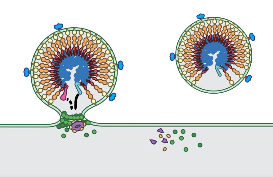 An illustration of a virus.