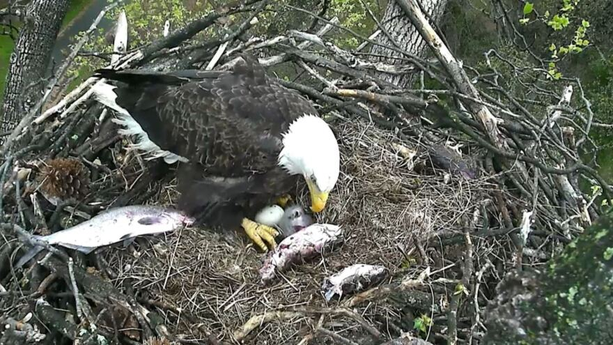 Surrounded by the remnants of a meal, one of the adult bald eagles watches over the eaglet and the hatching egg. Both the male and female — that is, both Mr. President and The First Lady — take turns in the nest.