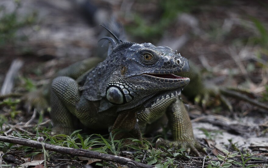 A green iguana looks for food in the grass at C.B. Smith park on Wednesday, May 8, 2019, in Pembroke Pines, Fla. As summer approaches more and more iguanas start to take over south Florida. They are known to be an invasive species, causing homeowner and sea wall damage along with carrying disease.