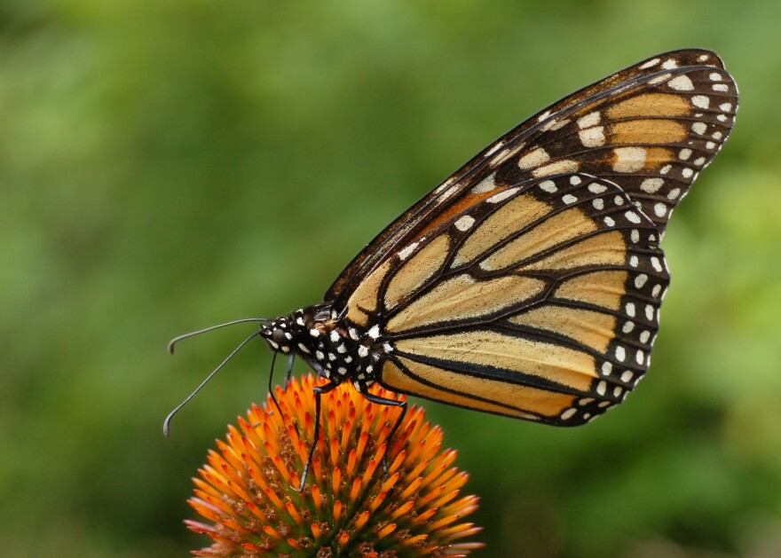 Monarch_Butterfly.jpg