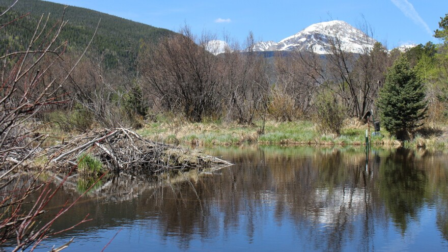 A beaver lodge sits in the middle of a pond near North St. Vrain Creek in Rocky Mountain National Park.