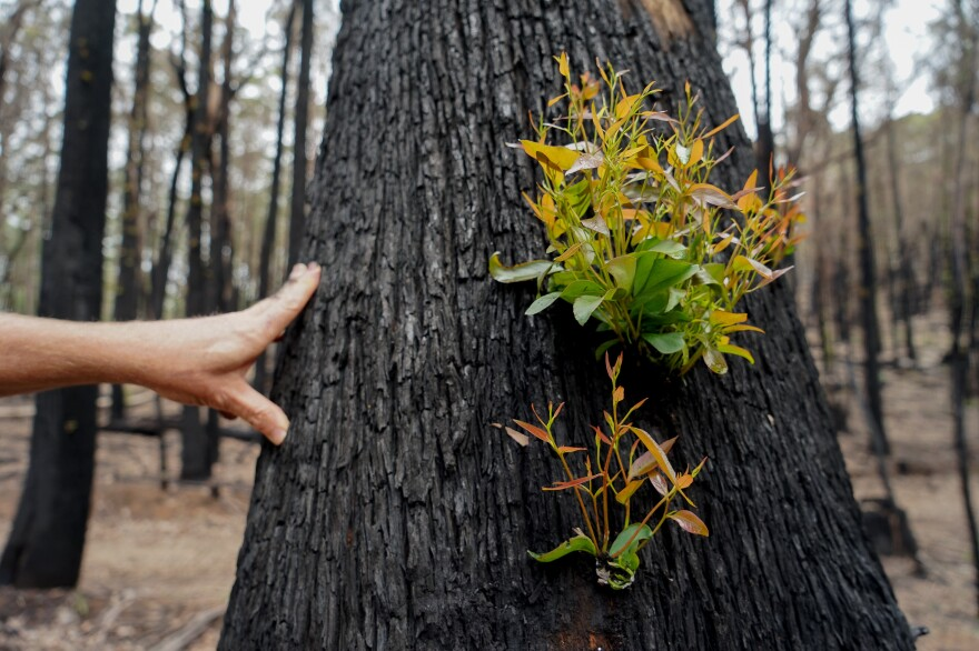 Fire damaged trees release epicormic sprouts along their trunks and branches that allow the tree to continue to photosynthesize and live.