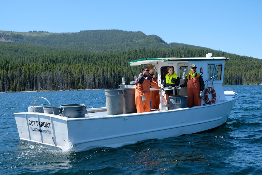 A Yellowstone National Park gillnetting boat catches non-native lake trout in Yellowstone Lake, July 25, 2019.