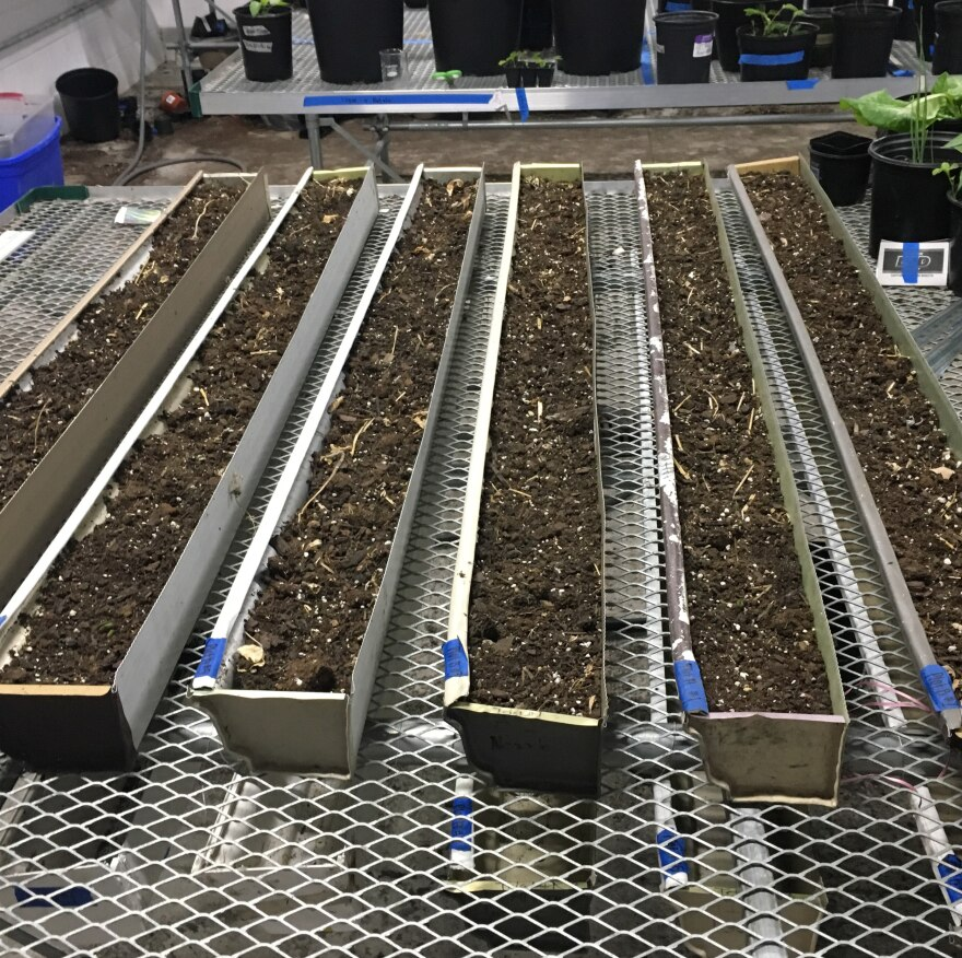 Experimental rows of soybeans in Global Impact Stem Academy Greenhouse
