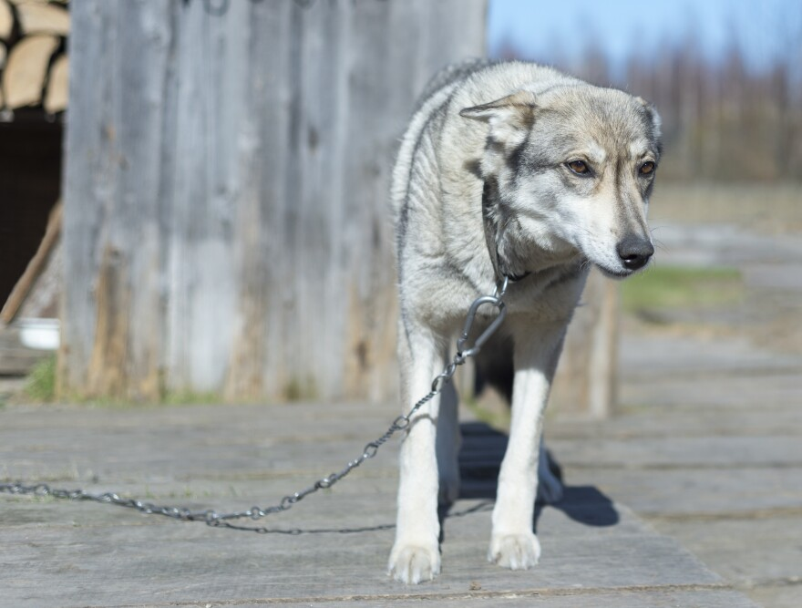 A photo of a dog chained.