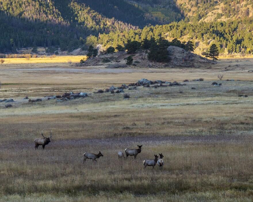 elk_in_moraine_park-cropped.jpg