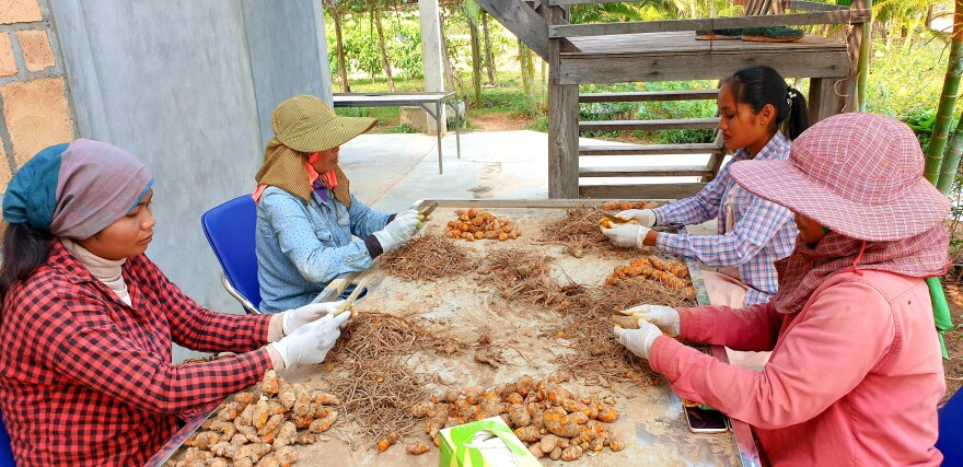 Employees of La Plantation in Kampot sort turmeric, which is among the other crops produced there.