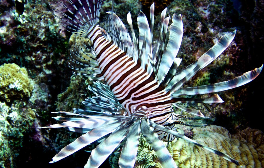 Lionfish, which are native to the Pacific and Indian oceans, are now present in the Atlantic and the Caribbean, where they are devouring smaller fish that protect reefs. The Caribbean island of Bonaire is teaching divers how to catch the venomous fish.