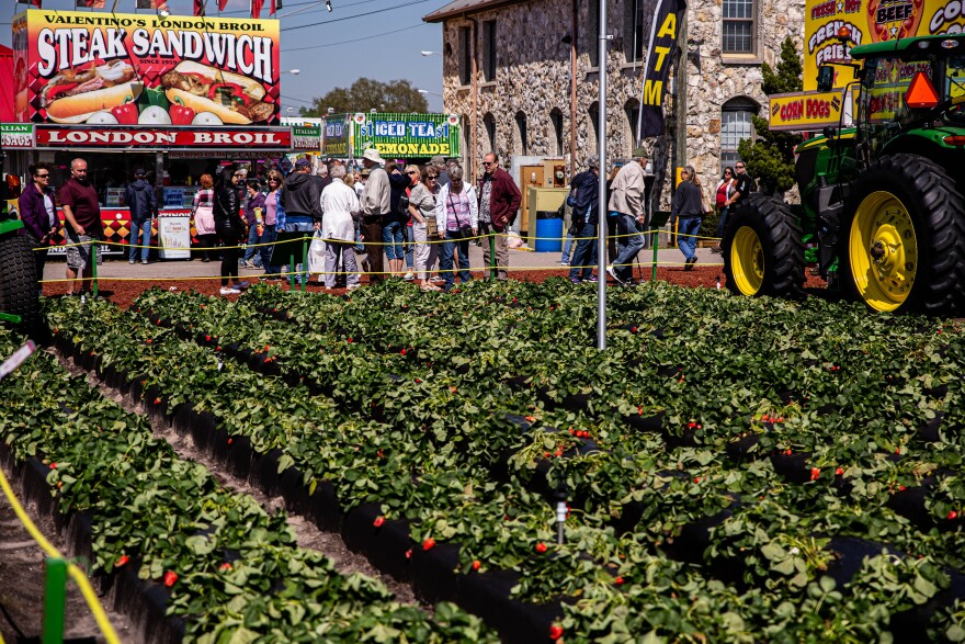 A strawberry patch lies within the middle of The Florida Strawberry Festival as visitors walk by and admire the growing fruit.