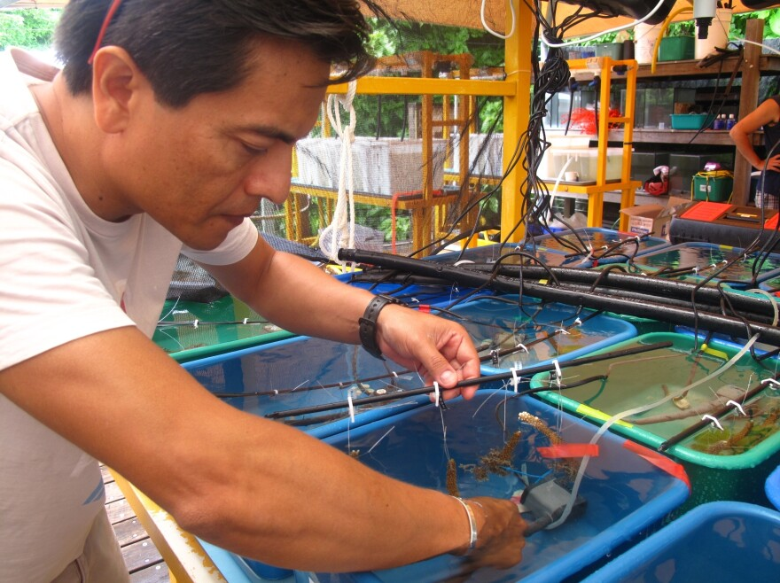 Guillermo Diaz-Pulido from Griffith University in Brisbane grows bits of seaweed attached to pieces of coral in tanks at the research facility on Australia's Heron Island.