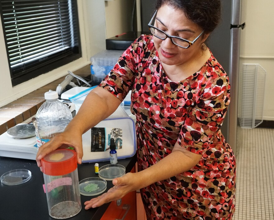Harris-Stowe biology professor Sandra Leal demonstrates how to make fruit fly food infused with CBD oil on June 25, 2019.