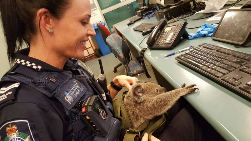 """Authorities say they're calling the young koala """"Alfred."""""""