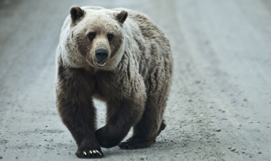 grizzly_bear_national_parks_service.jpg