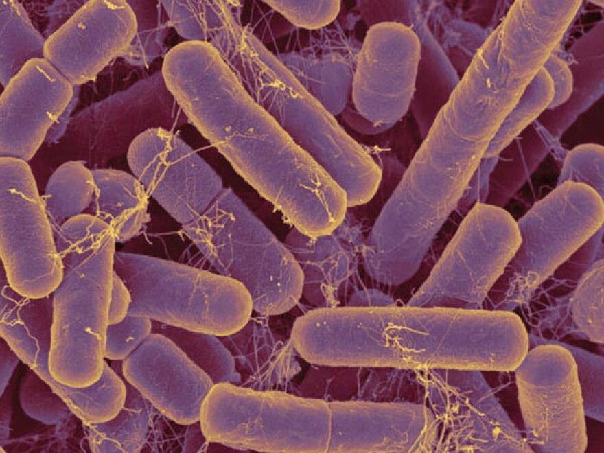Bacteroides are microbes that dominate the guts of people who eat more animal protein and fat.