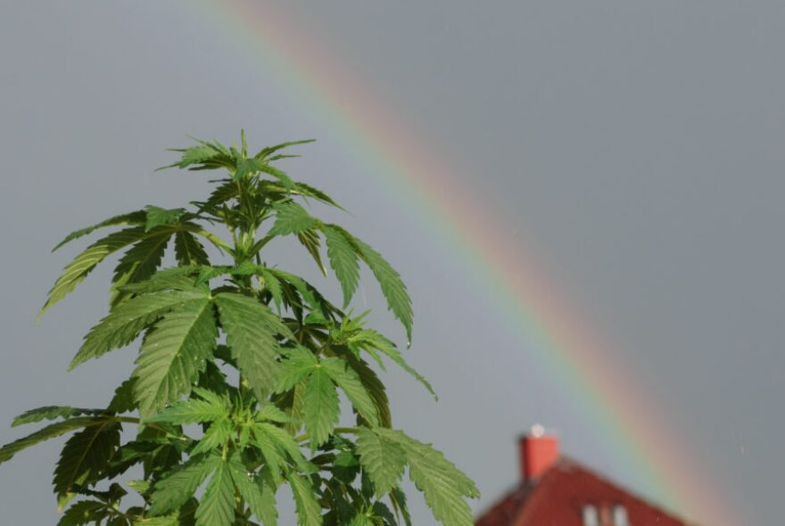 A marijuana plant with a rainbow curving over it.