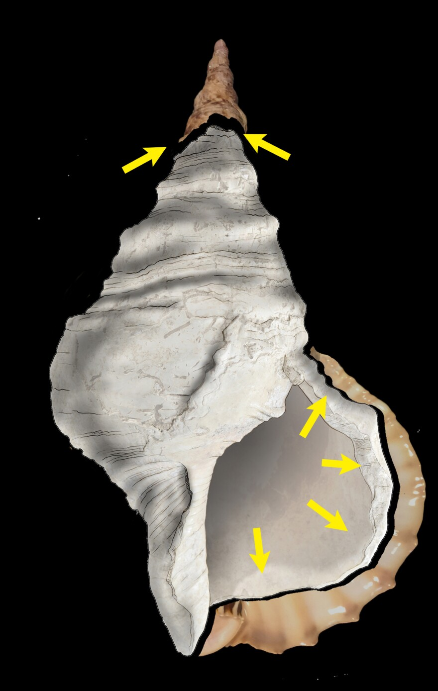 The Charonia shell bears the traces of important modifications of human origin. 1: elimination of the labrum (outer lip) by series of strokes. 2: opening of the apex by destruction of the first six spires.