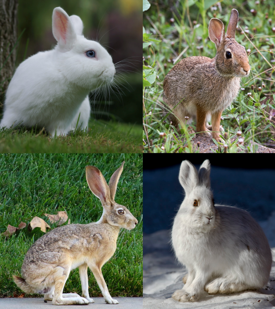 rabbit_hare_collage.png