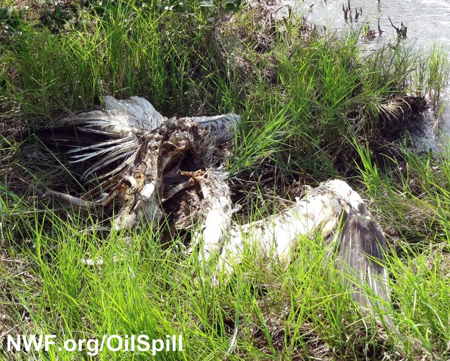 bp oil spill gulf of mexico pelican-National Wildlife Federation-NWFblogs.jpg