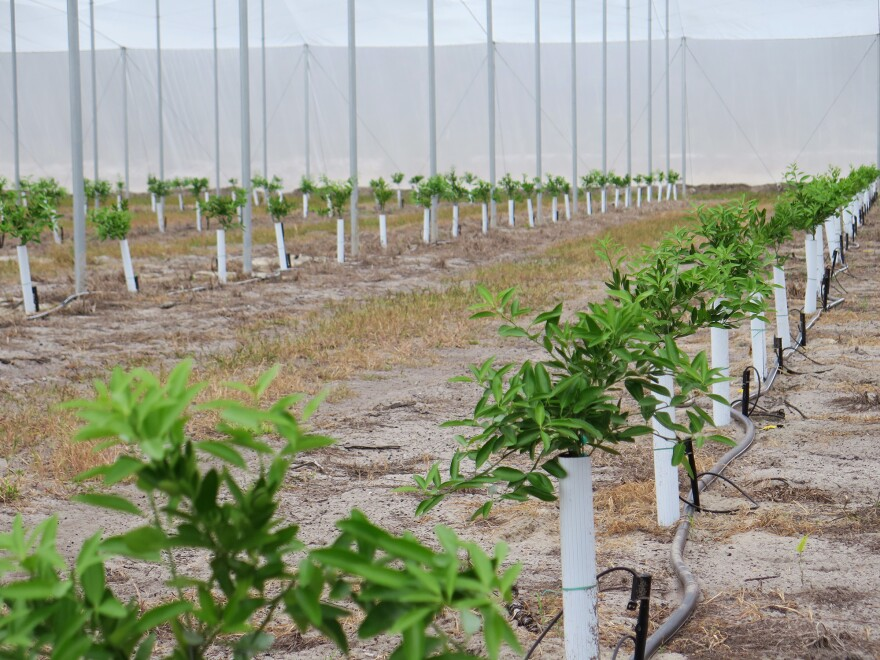 Ed Pines has planted 20 acres of mandarin orange in two large screened enclosures at his facility in Lake Wales, Florida. The screens protect the plants from the vector of the disease.