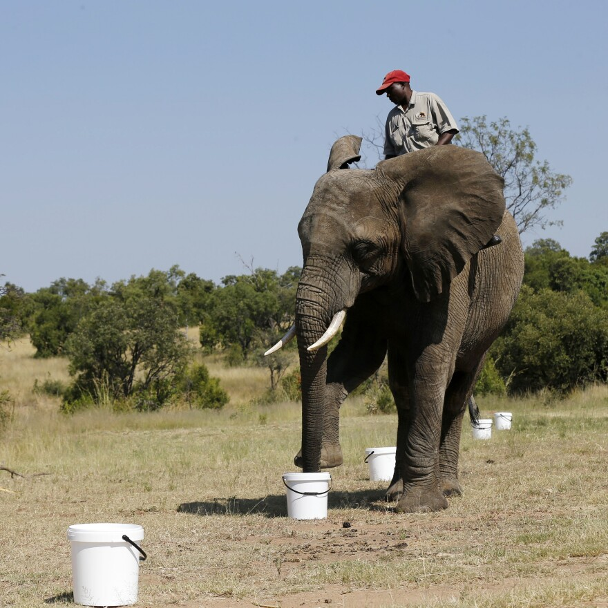 A ranger rides an elephant during a demonstration of its detecting abilities, at the Adventures with Elephants ranch in February.