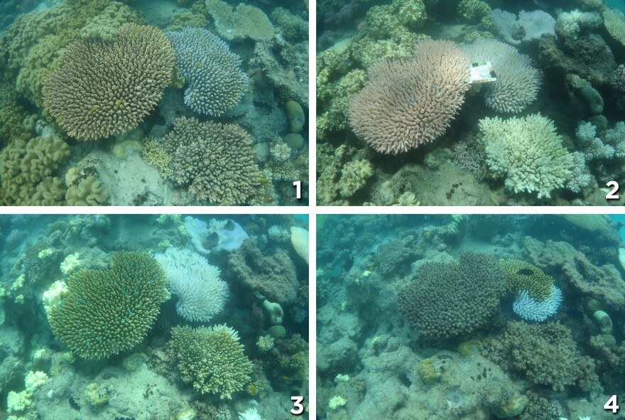 Photo (1), taken in Dec. 2015 shows healthy coral near Lizard Island. The coral in photo (2) from March is bleached. In April, as shown in photo (3), algae begin to grow on the coral. Finally, in photo (4) from May, you can see heavy algal overgrowth.