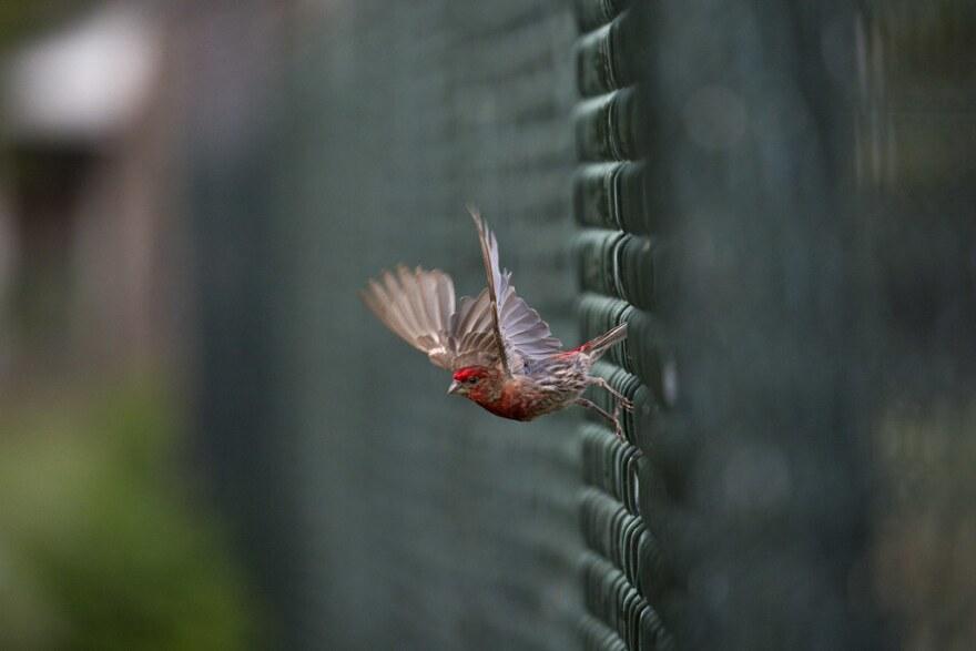 A male house finch
