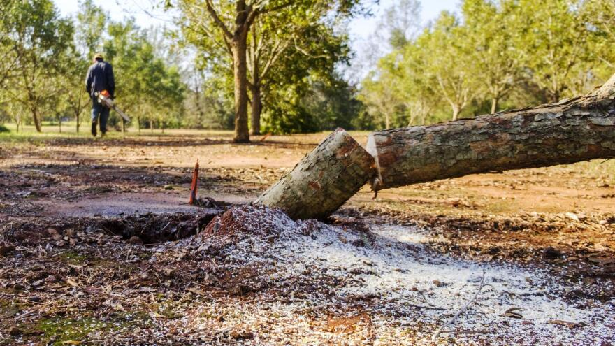 Eric Woods, a plantation worker, walks away from a young pecan tree he had to cut down after it was mortally wounded by Hurricane Michael.