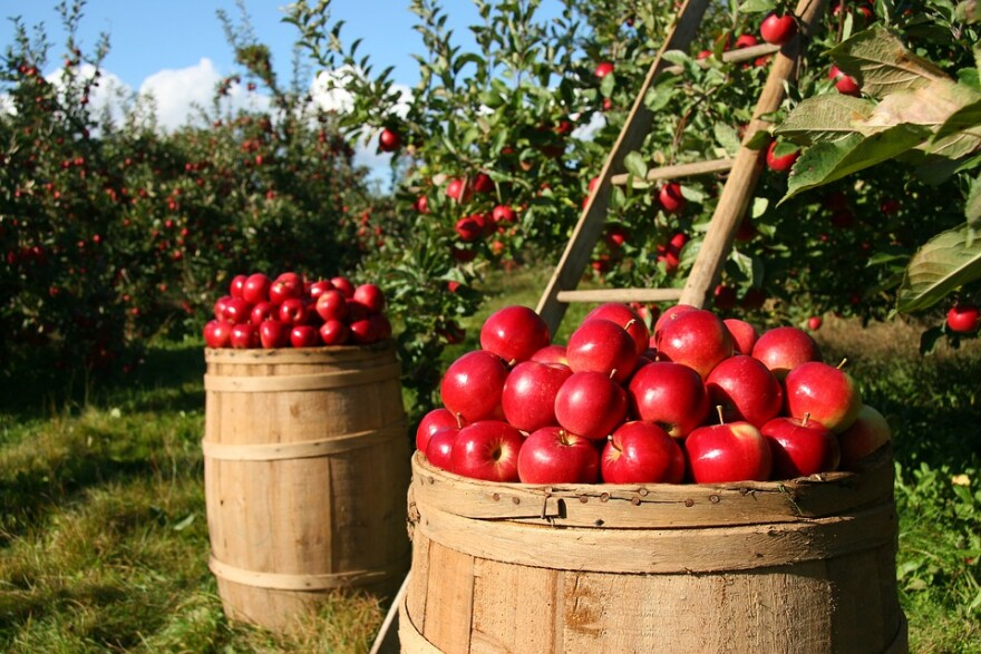 apples_barrels_orchard_extension_service.jpg