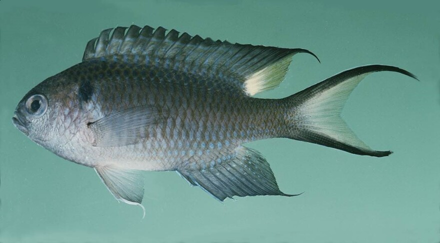Schools of the nonnative regal damselfish live in the reefs off the coast of Veracruz, Mexico. And researchers are concerned the fish could spread within the Gulf of Mexico.