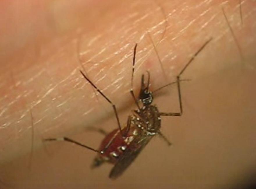 zika_mosquito_oxitec.png