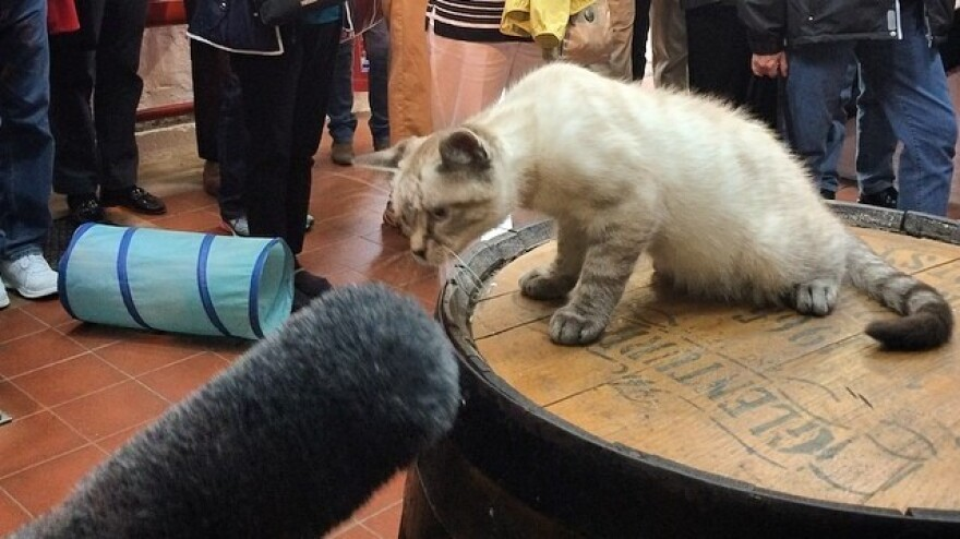 Cats have kept mice out of distilleries for generations. The mice are now scarce, but cats are enjoying a new role as public relations ambassadors. Here, Peat, the kitten at the Glenturret distillery in Scotland, practices his mousing skills on an NPR microphone.