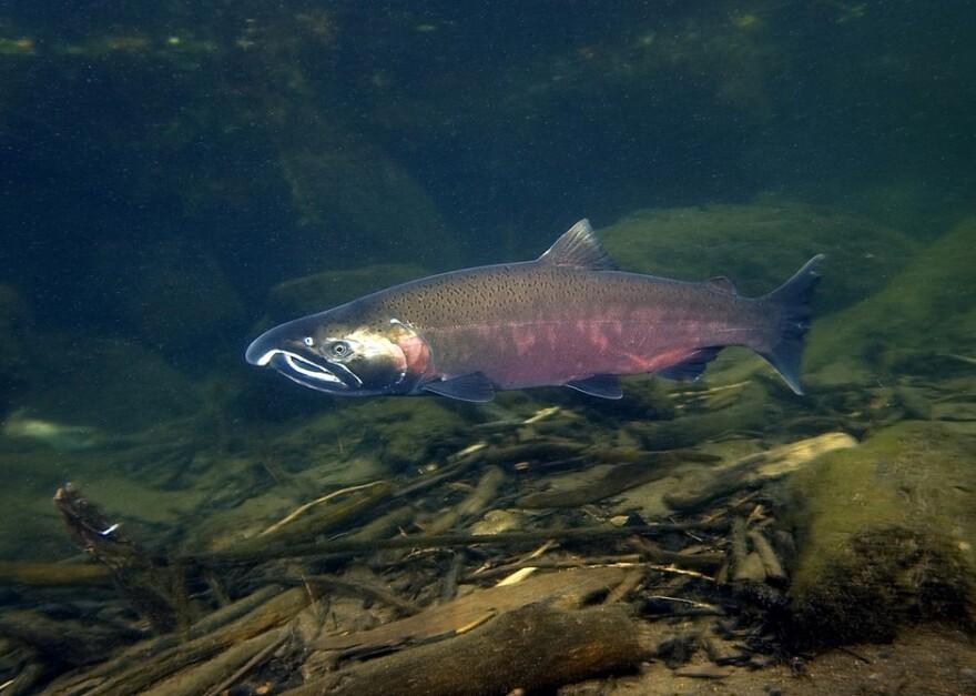 salmon_coho_-_rick_swart_odfw.jpg