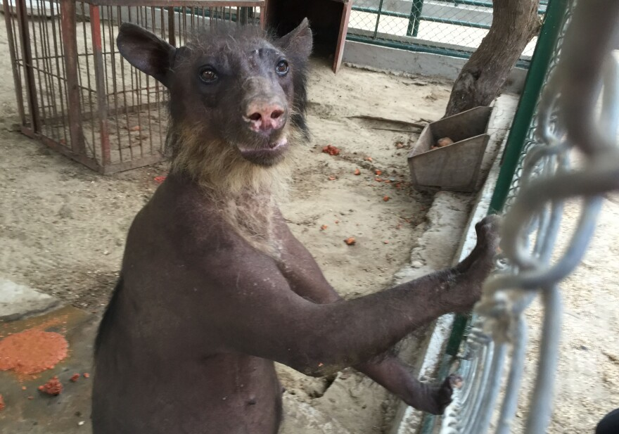 Cholita, an Andean bespectacled bear, was rescued from a circus in Peru after suffering from abuse. An animal welfare group is now attempting to take Cholita to the U.S.