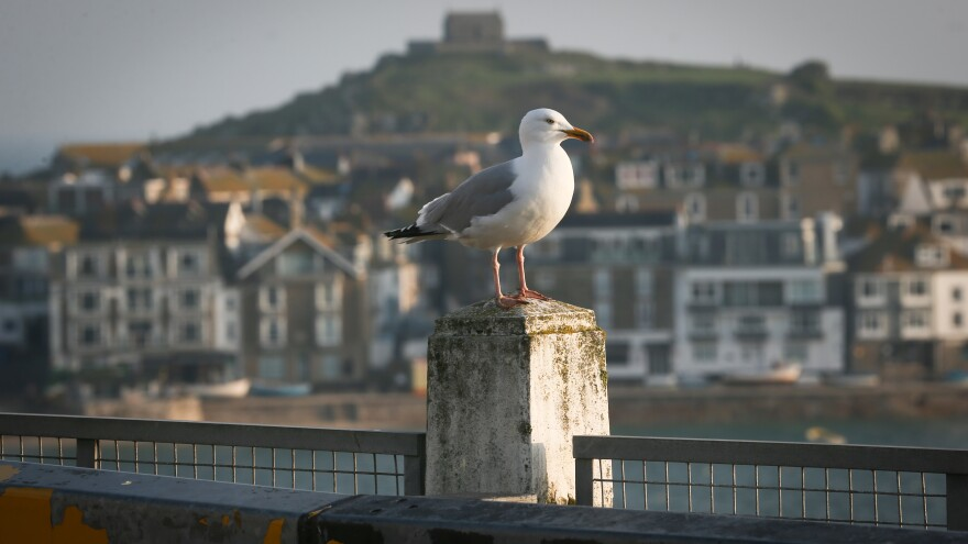 Seagulls in Cornwall, England, have allegedly attacked people and family pets.