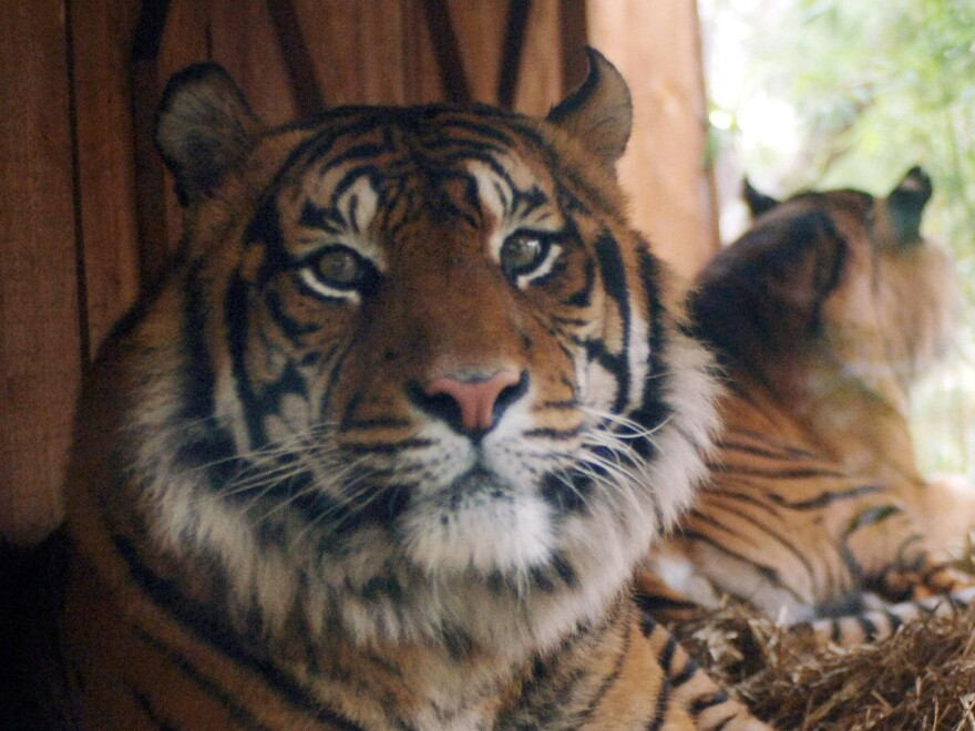 Indian officials may need to try Calvin Klein's Obsession in order to lure a man-killing tiger. (The tigers pictured are not the exact ones mentioned in this story.)