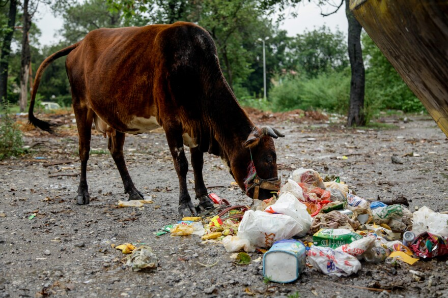 A cow munches on trash-filled plastic bags tossed near a dumpster on the outskirts of Saidpur.