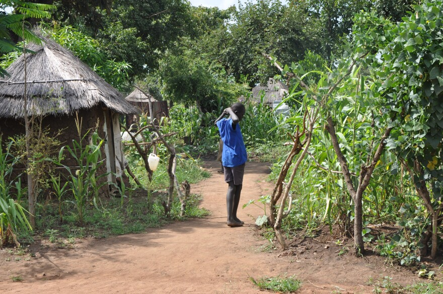 Corn grows among homes built in a settlement for refugees from South Sudan in northern Uganda.