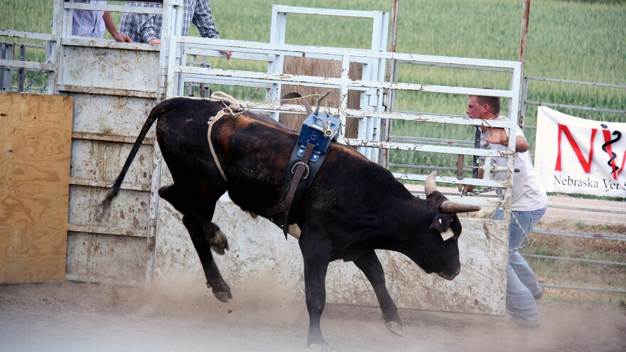 "Bulls are judged with a ""dummy"" weight for four seconds to see how hard they will jump and twist to buck a rider. Bulls that do well can sell for up to $50,000."