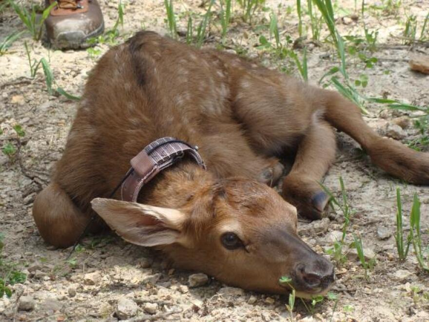 2011-06-02 Elk calf with collar MDC.jpg