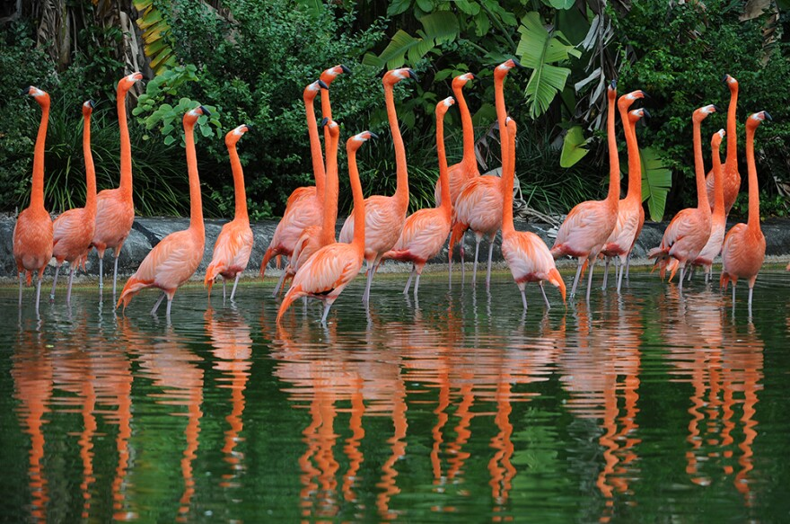 Flamingos were common in South Florida in the 19th century, but considered exotics in the 20th.