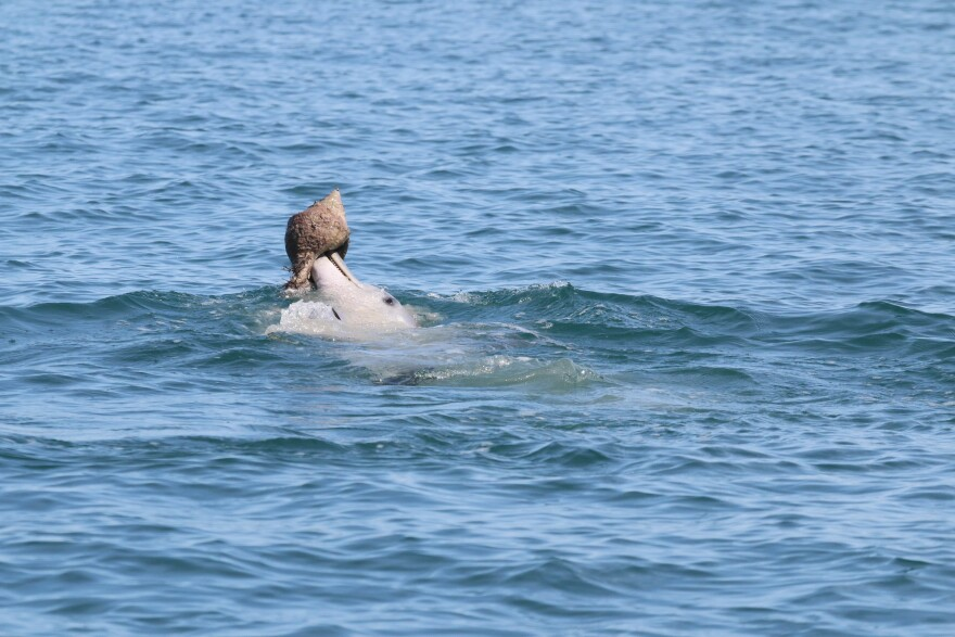 A dolphin practicing shelling behavior, which involves chasing a fish into a shell and then carrying the shell to the surface to consume the fish.