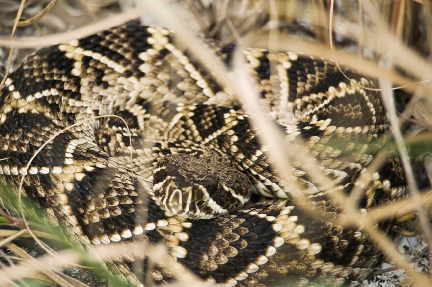 eastern_diamondback_rattlesnake_tristan_loper__wikimedia_commons_.jpg