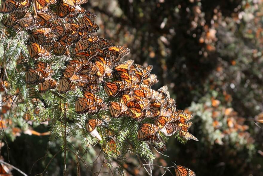 Monarchs_on_oyamel_fir_tree_(closeup).jpg