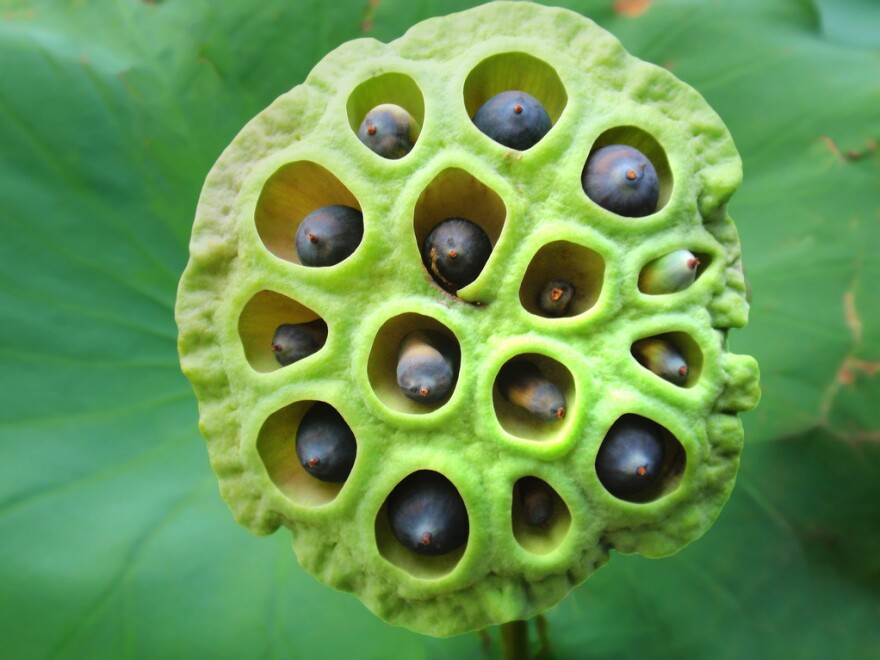 Beautiful or creepy? A recent survey found that an image of a lotus seed head makes about 15 percent of people uncomfortable or even repulsed.