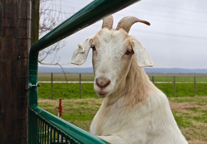 Jim Ruggles' goats will be at Maryville University for the honeysuckle project on April 21.