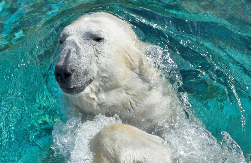 Nikita Hogle Zoo Polar Bear.jpg