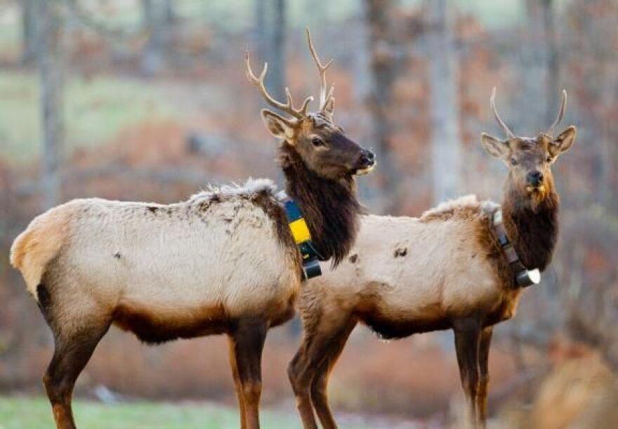 2011 Two bull elk MDC cr.jpg
