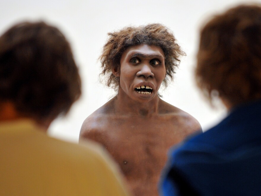Neanderthals, represented here by a museum's reconstruction, had been living in Eurasia for 200,000 years when <em>Homo sapiens</em> first passed through, and the communities intermingled. The same genes that today play a role in allergies very likely fostered a quick response to local bacteria, viruses and other pathogens, scientists say.