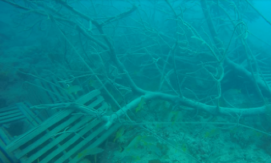 A major problem for the reef after Hurricane Irma is the debris that wound up in the water, like these lobster traps and mangrove segments 60 feet down at Conch Reef.